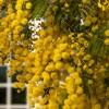 La invasión de La Mimosa - Viveros de olivos en Córdoba | Plantones de Olivo | El Soto