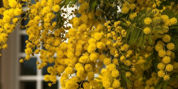 La invasión de La Mimosa - Viveros El Soto