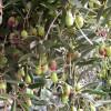 Plagas del olivo - Viveros El Soto