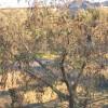 Verticillium en olivo - Viveros Soto
