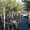 Dónde Comprar Plantones de Olivos - Viveros El Soto