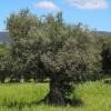 El Ébola del Olivo: Xylella Fastidiosa - Viveros de olivos en Córdoba | Plantones de Olivo | El Soto