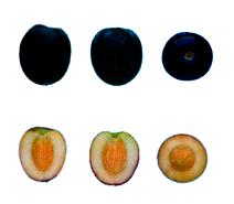 Arbequina - Fruto