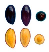 Cornicabra- Fruto