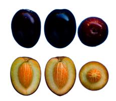 Hojiblanca - Fruto