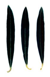 Hojiblanca - Hoja