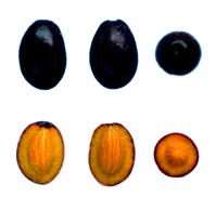 Lechín - Fruto