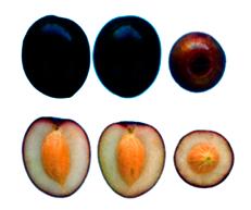 Manzanilla - Fruto